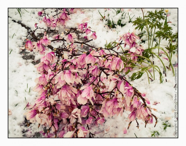 Late snow proved too much for magnolia blossom