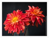 Burnt-out dahlias
