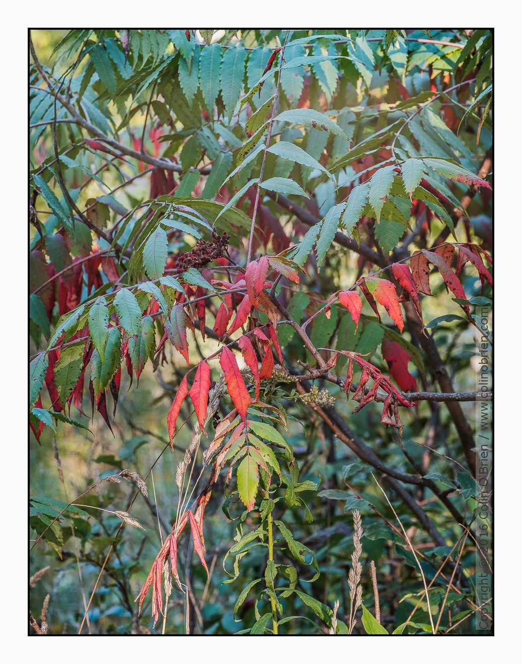 Photo of Sumac brings early fall color